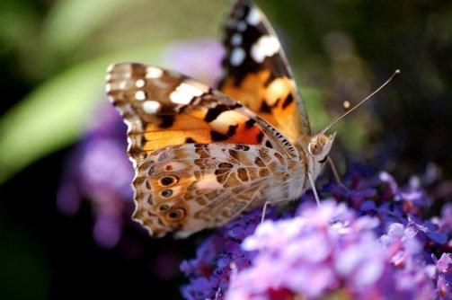 attirer papillons jardin potager