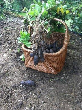 augmenter récoltes potager