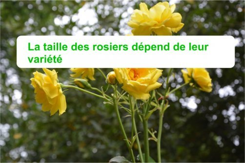 comment tailler rosiers