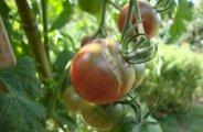 Comment traiter vos tomates naturellement ?