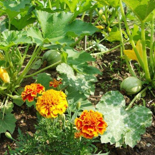 Comment utiliser les oeillets d 39 inde au jardin et au - Comment utiliser un pulverisateur de jardin ...