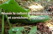 Cultiver concombres et cornichons au potager