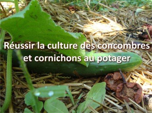culture concombres cornichons potager
