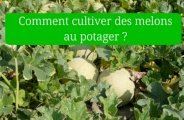 cultiver melons potager