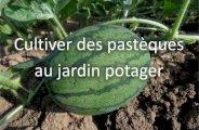 Cultiver des pastèques au jardin potager