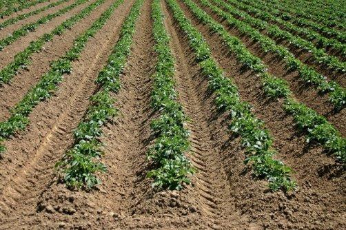 cultiver pommes de terre