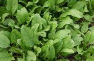 Cultiver les épinards au potager