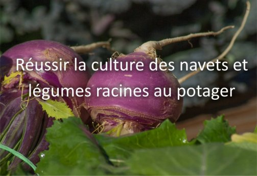 cultiver navets potager