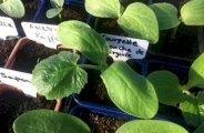 faire des semis de courgettes