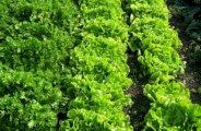 faire semis salades
