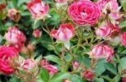 L'arcure des rosiers buissons
