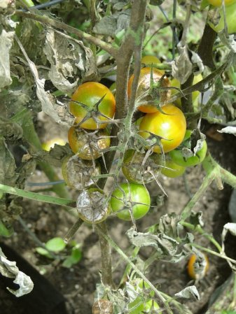 bouillie bordelaise jardin potager