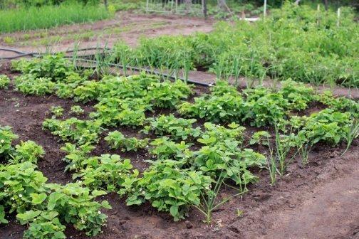 Les associations de l gumes au jardin potager astuces for Au jardin potager