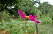 fleurs melliferes jardin potager