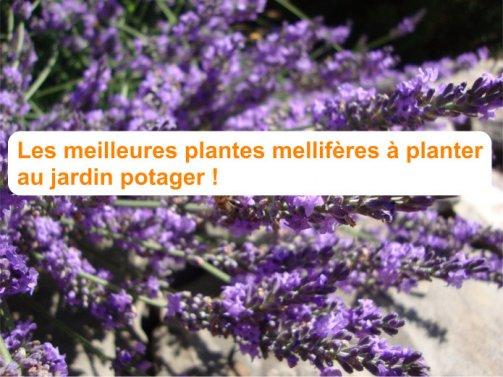 plantes mellifères jardin potager