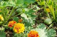 plantes utiles ravageurs potager