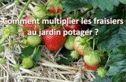 Multiplier les fraisiers au jardin potager