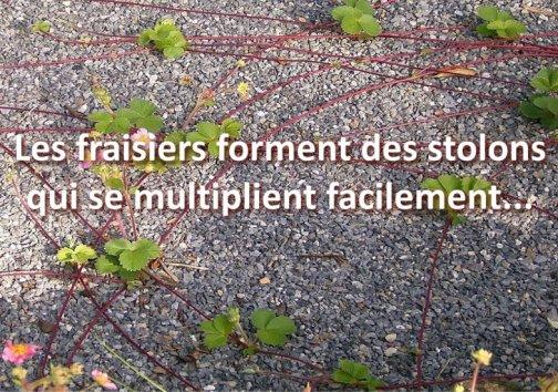 multiplier fraisiers jardin potager