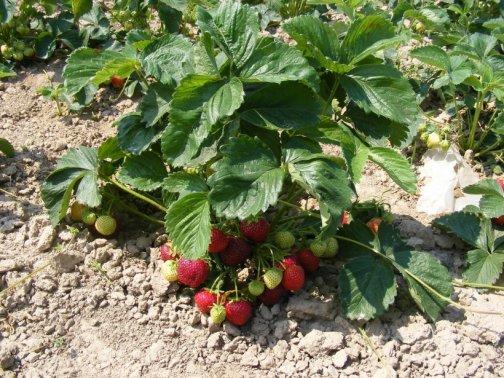 multiplier fraisiers potager