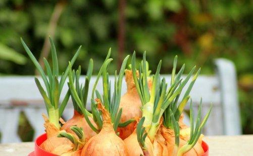 ail oignon échalote jardin potager