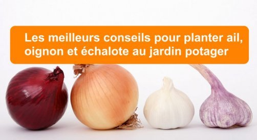 Planter ail, oignon et échalote au jardin potager ...
