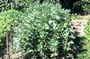 Planter et cultiver des fèves