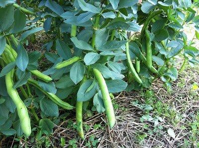 planter cultiver fèves