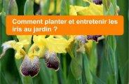 Planter et entretenir les iris au jardin