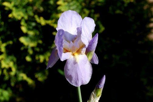 planter entretenir iris