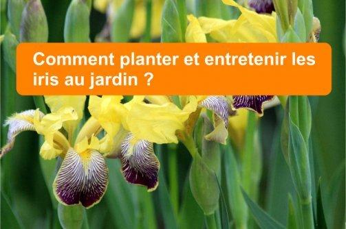 planter entretenir iris jardin