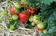 Prendre soin des fraisiers au jardin potager