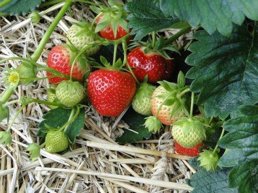 prendre soin fraisiers jardin potager