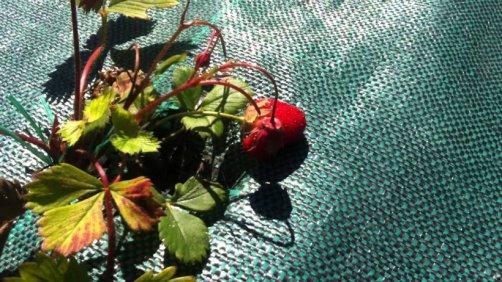 prendre soin fraisiers
