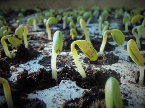 que faire fonte des semis