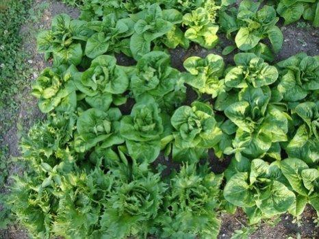 quoi planter potager hiver
