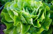 Récolter des salades toute l'année au jardin potager