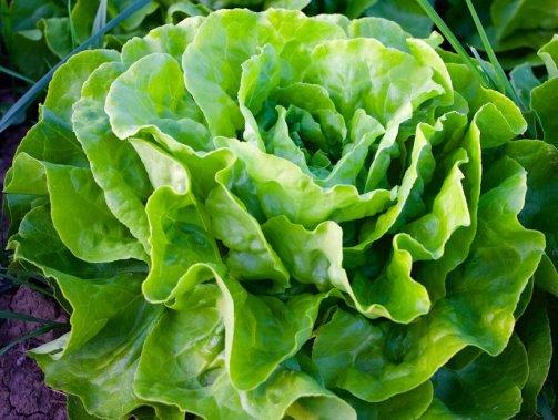 récolter des salades toute l'année