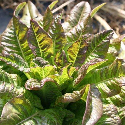 récolter salades jardin potager