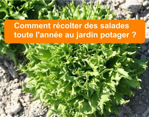 récolter salades toute l'année
