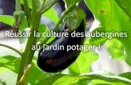 Réussir la culture des aubergines au jardin potager