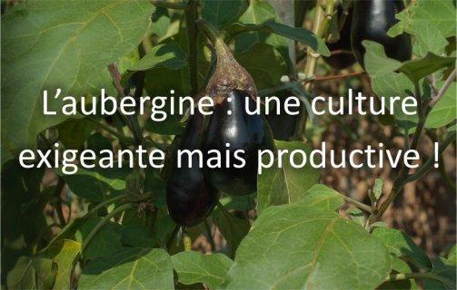 r ussir la culture des aubergines au jardin potager astuces pratiques. Black Bedroom Furniture Sets. Home Design Ideas