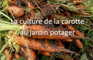 Réussir la culture des carottes au jardin potager