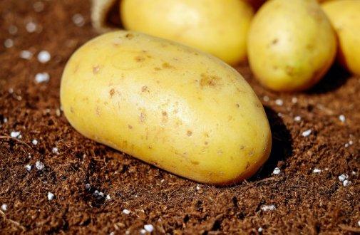 réussir culture pommes de terre jardin potager