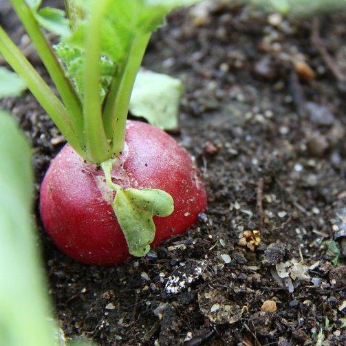 réussir culture radis jardin potager