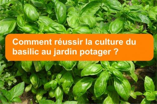 Réussir la culture du basilic au jardin potager