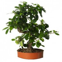 Soins d'été pour bonsaï