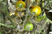 Traitements naturels contre le mildiou
