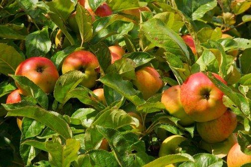 traiter naturellement arbres fruitiers