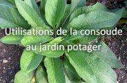 Utilisations de la consoude au jardin potager