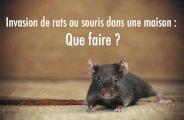 Invasion de rats ou souris dans une maison : que faire ?